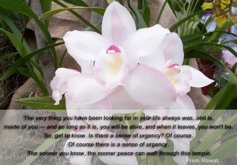 white flower,Prem Rawat,quote