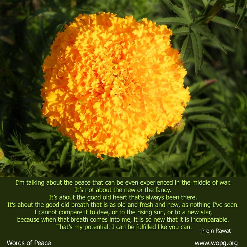 genda,flower,yello,Prem Rawat,quote