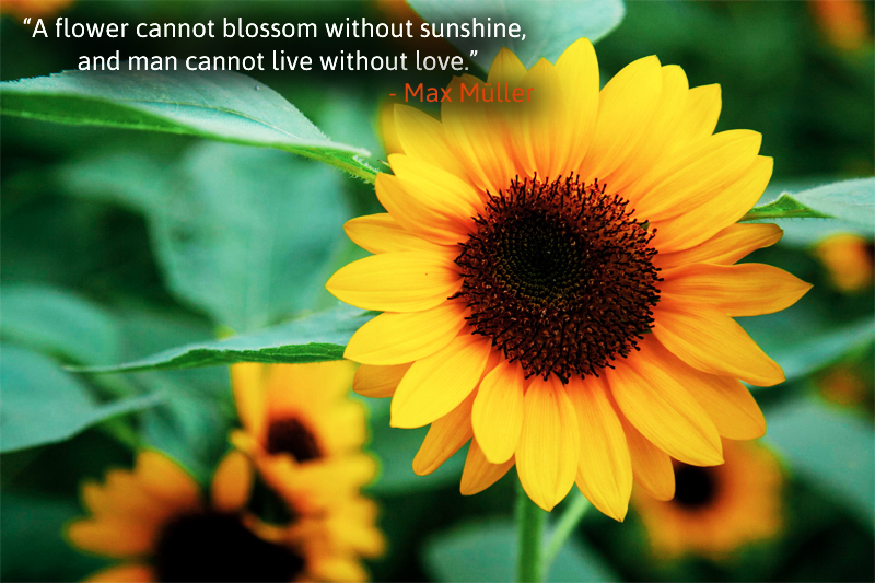 yellow,sunflower,Max Müller,quote