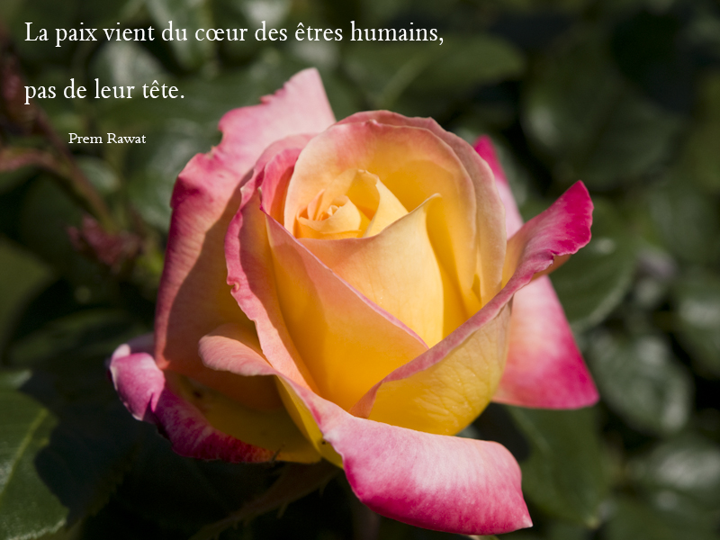 flower, rose,Prem Rawat,quote